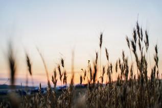 20160529 LIB Grasswheat Sunset Landscape