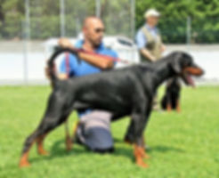 Legend di casa fox Dobermann