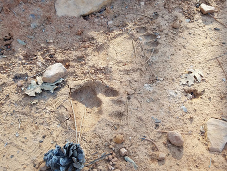 Bear Tracks on the Bearfoot Trail?