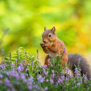 red-squirrels-northumberlandresize.jpg
