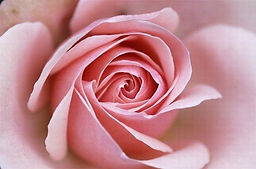 rose-fleur-divine.jpg