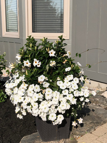 White Wave Petunia Planter.jpeg