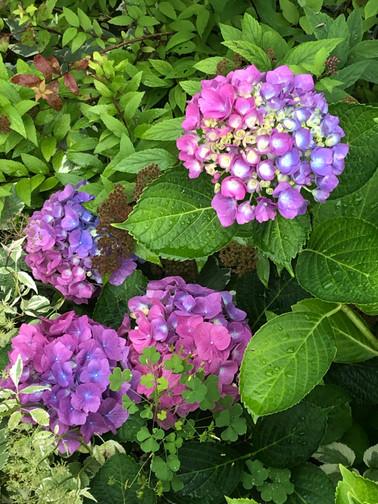 Purple Pink Hygrangia