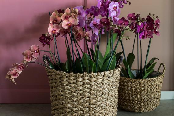 Phalaneopsis orkidé i glade farger-4440.
