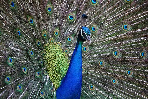 peacock-2201428_1920.jpg