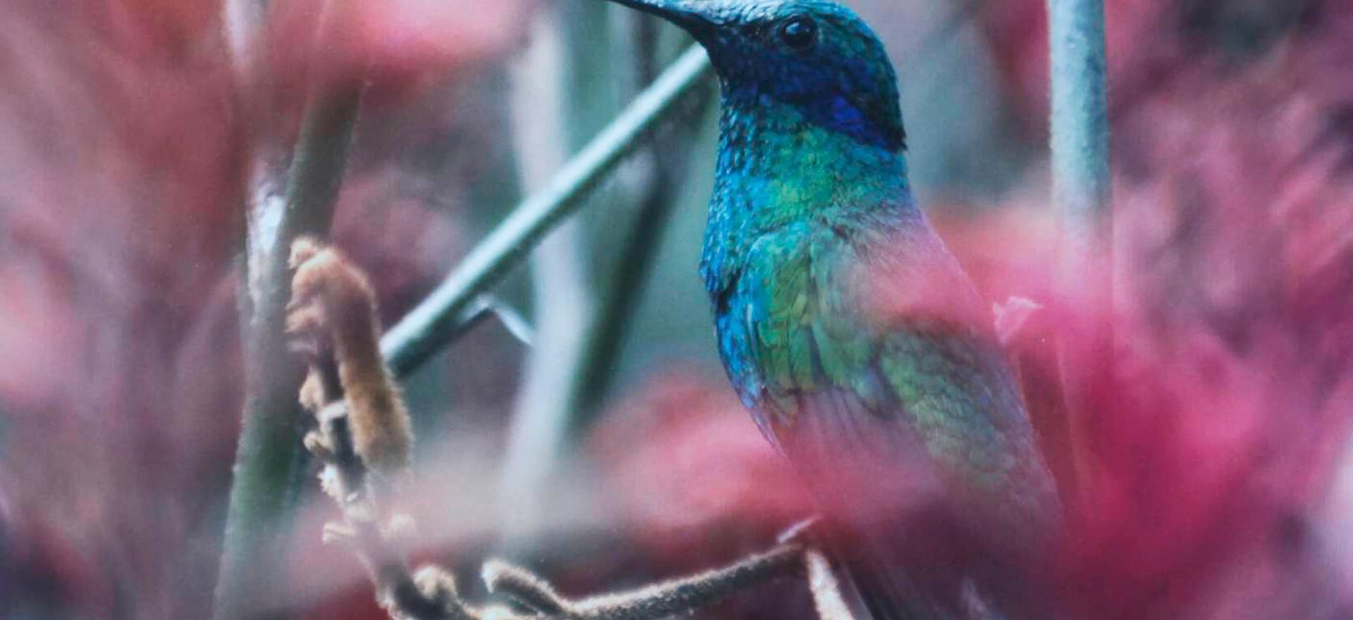 De la serie colibrí