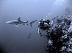 Perry  shark