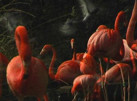 flamands-roses-site.jpg