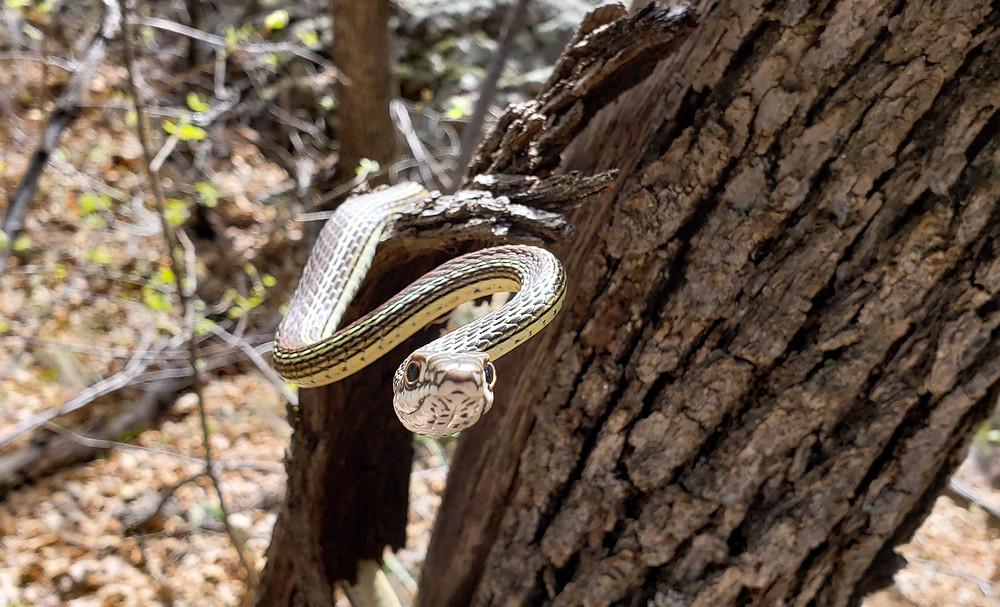 striped whip snake