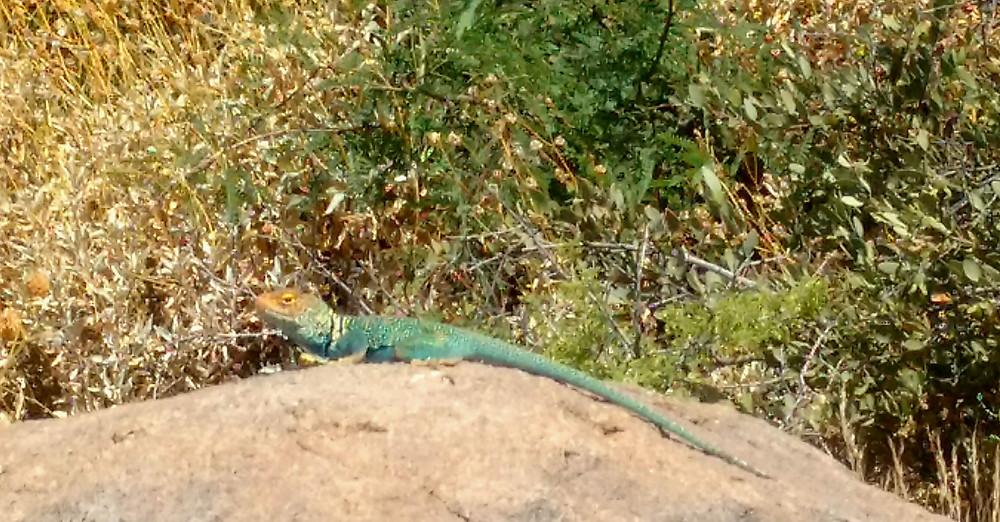 blue collared lizard