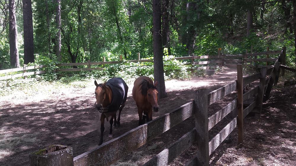 Shyla and Takoda enjoying the big corral at Belden