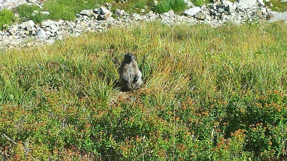 marmot along the trail