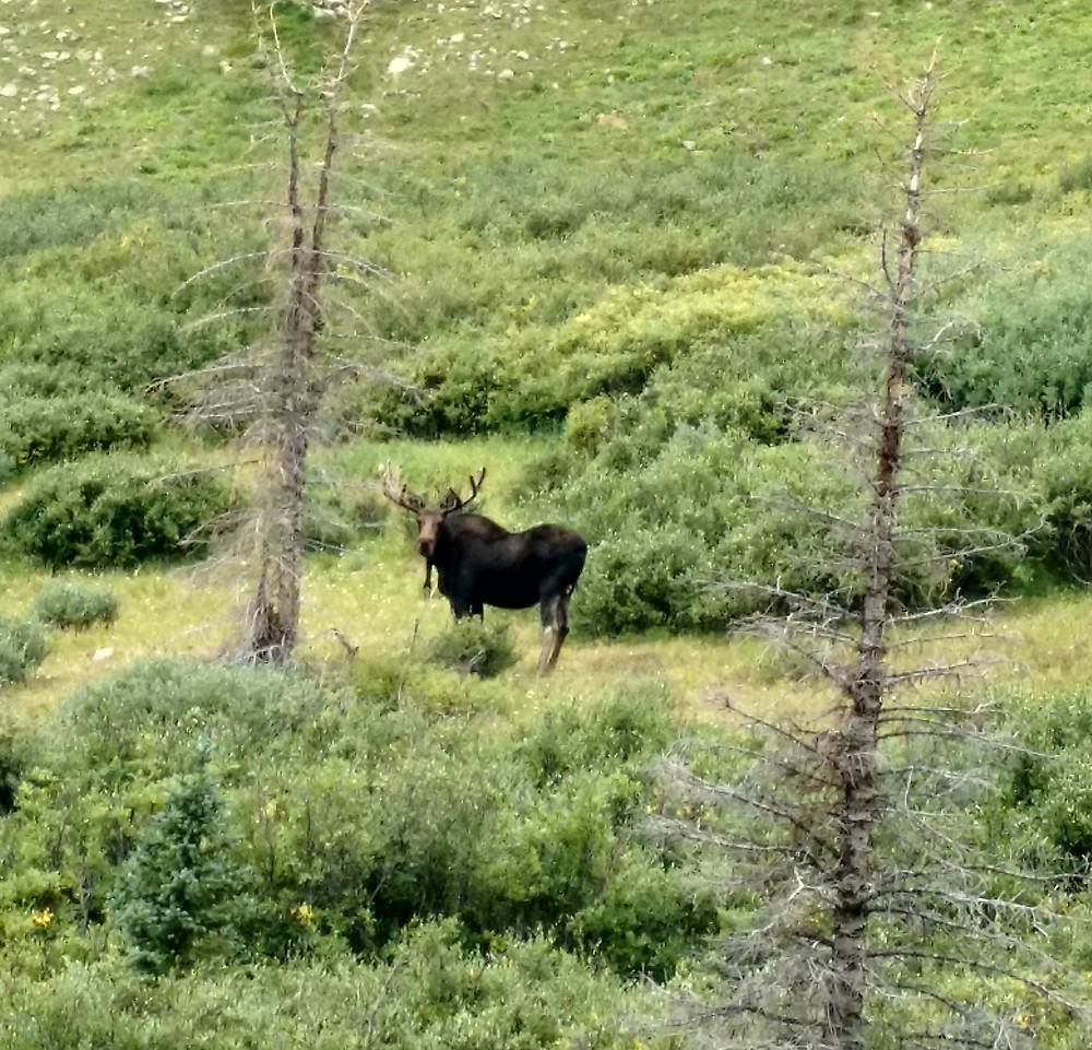Bull moose giving us a stare-down