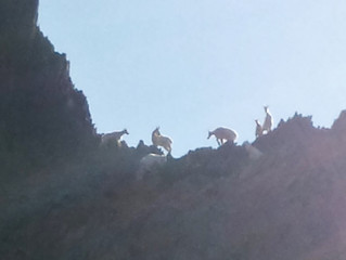 Goats on rocks