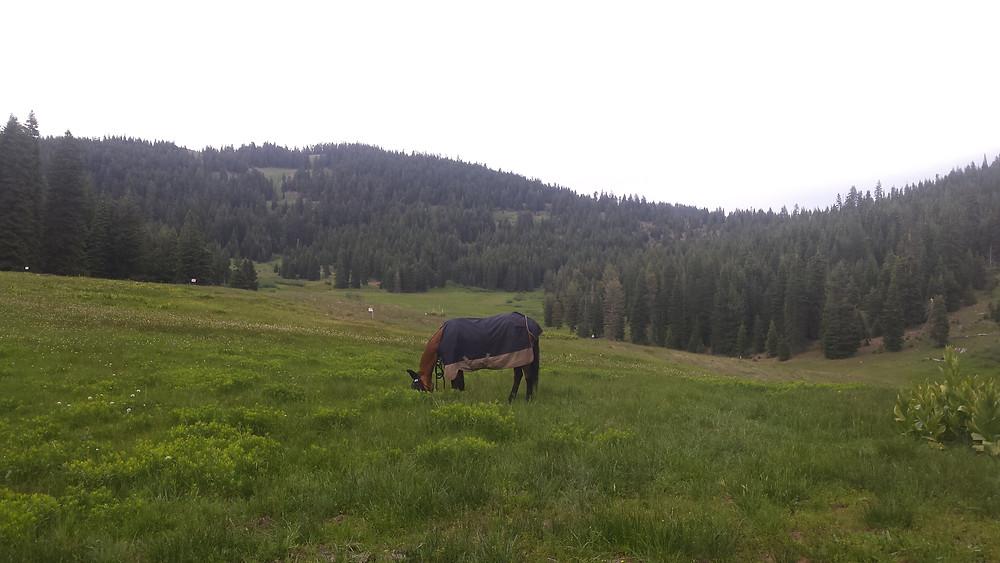 Shyla grazing in Donomore Meadow