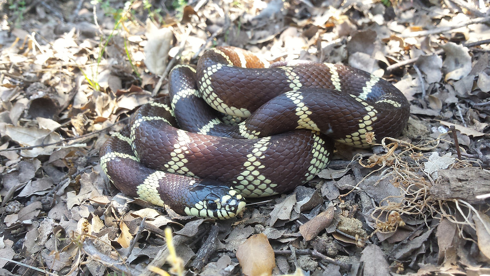 Juvenile kingsnake on the trail south of Silverwood