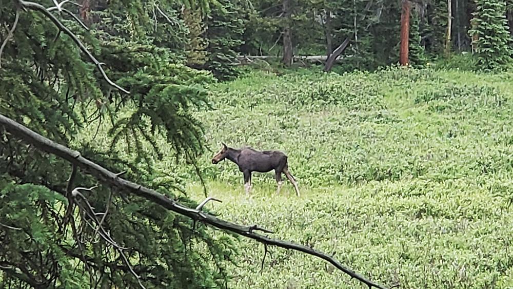 moose just south of Meadow Creek reservoir