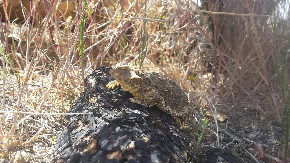 horned lizard on the trail north of Walker Pass