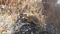 horn-toed lizard