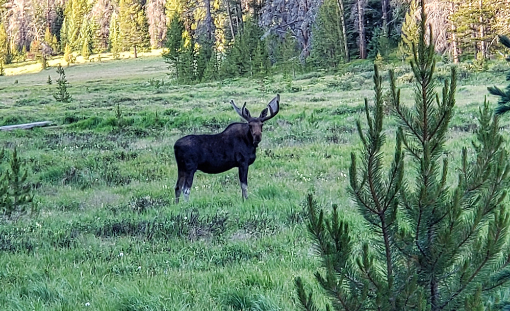 another meadow, another moose