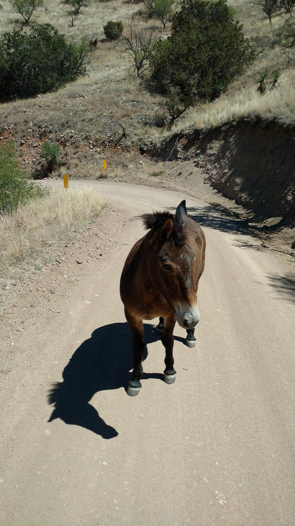 A friendly mule near Patagonia, AZ