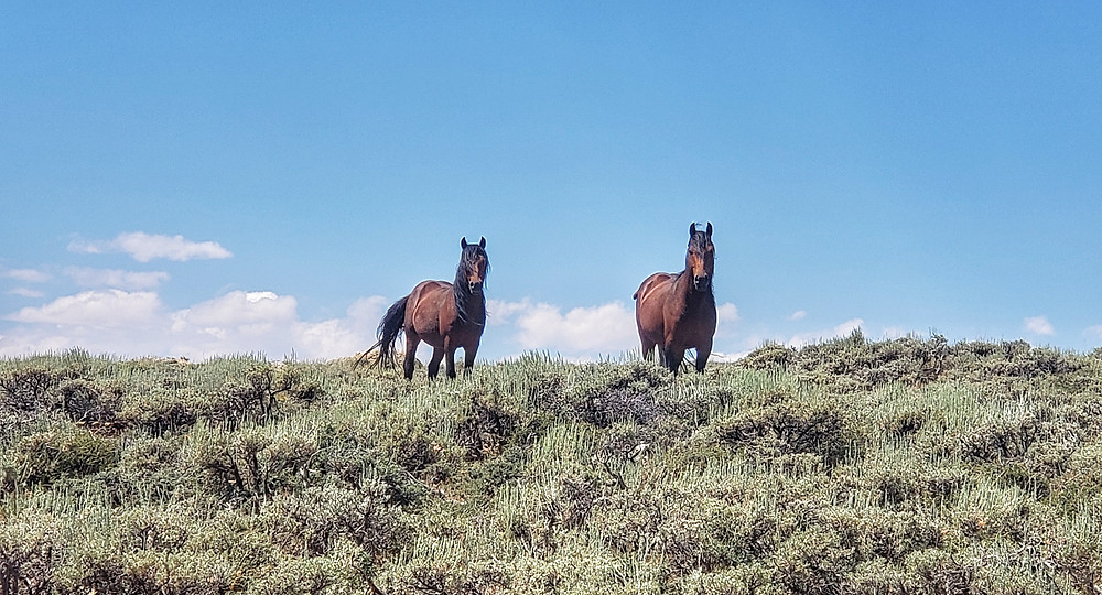 two stallions on guard