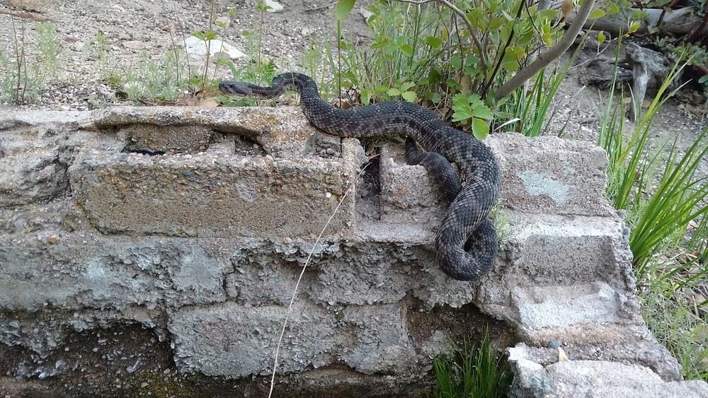 rattlesnake guarding the spring