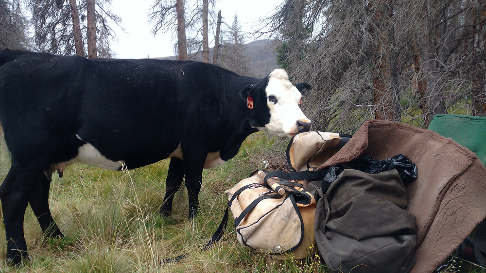 a curious cows smells something good to eat