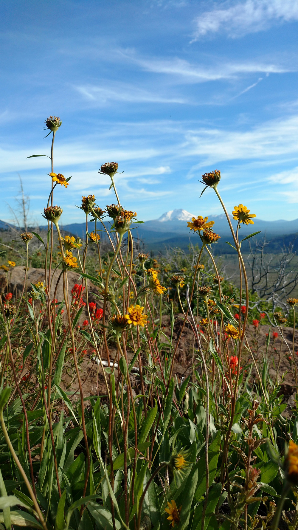 Wildflowers with Mt. Lassen in the background