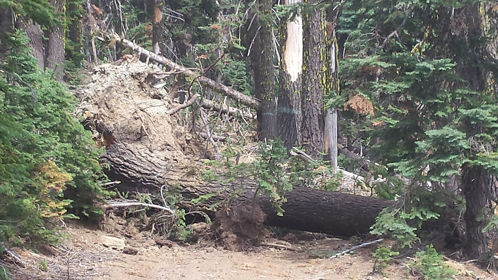 One of the many trees blocking the way to Donomore Meadows