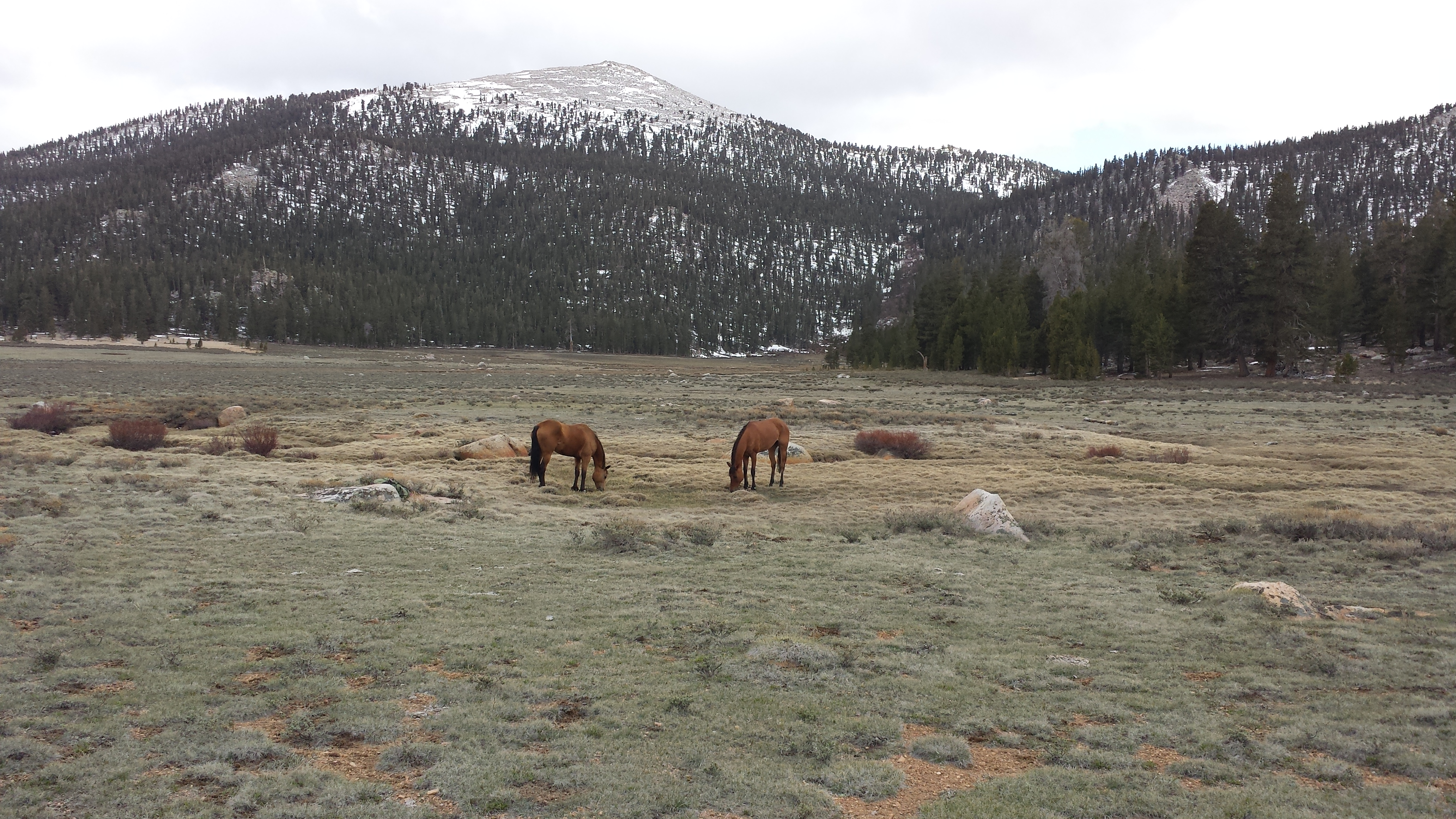 Grazing in Horseshoe Meadow
