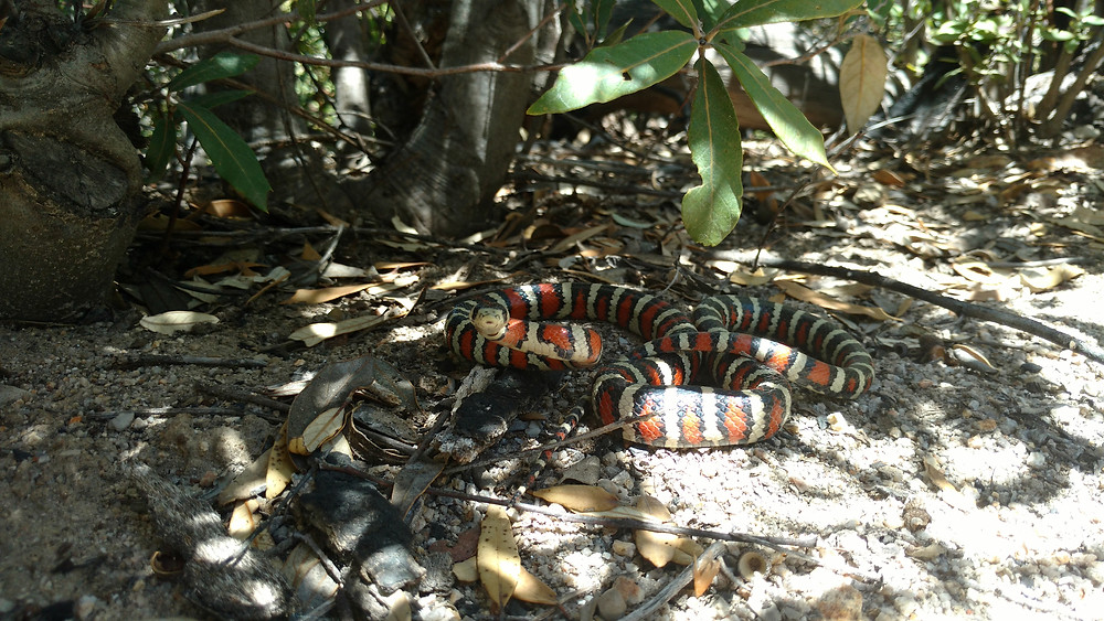 mountain kingsnake