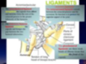 capsular lig role .jpg