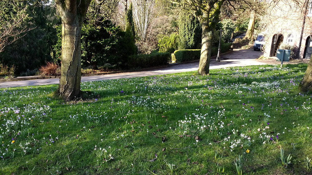 Snowdrops and crocuses in Fletcher Moss Park
