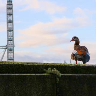 Egyptian Goose overlooking The London Eye.