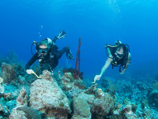 Live Coral Fragments Replanted During Restoration Project Being Prepared for Annual Spawning Event