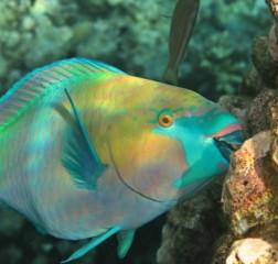 Fun Parrotfish Facts