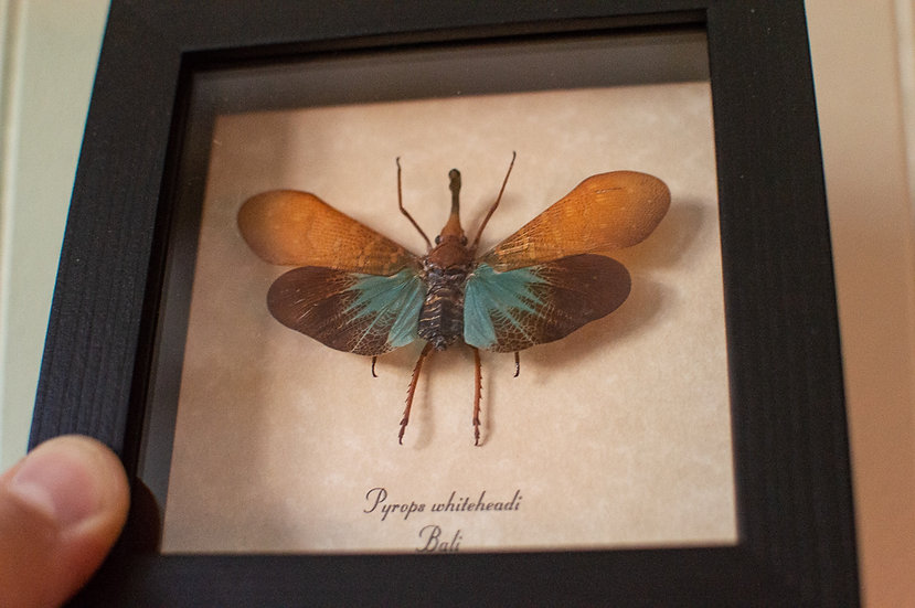 Gold Moon Lanternfly Insect