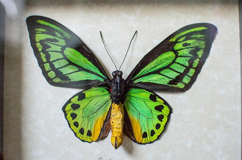 Neon Green Birdwing Butterfly