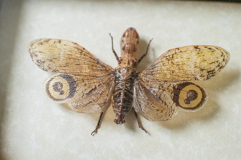 Alligator Lanternfly