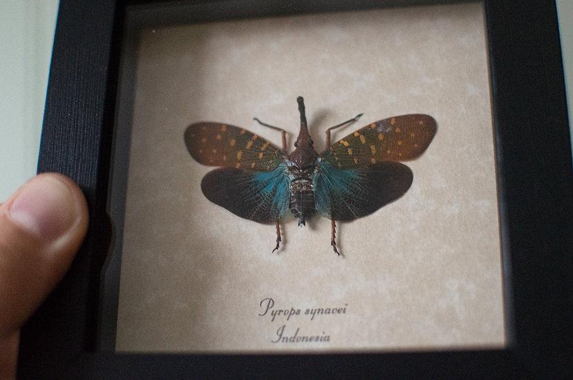 Aqua Snout Lanterfly