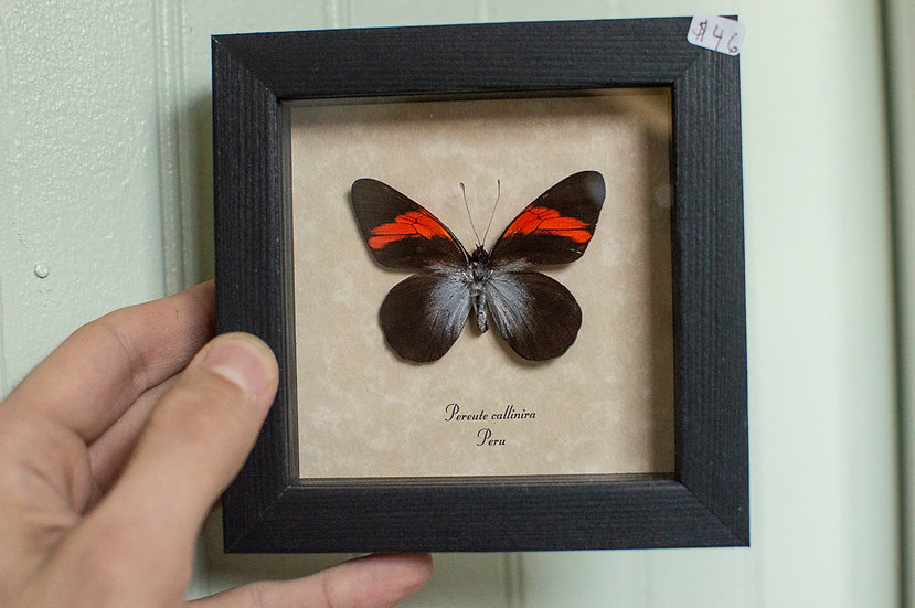 Red and Black Ghost Butterfly