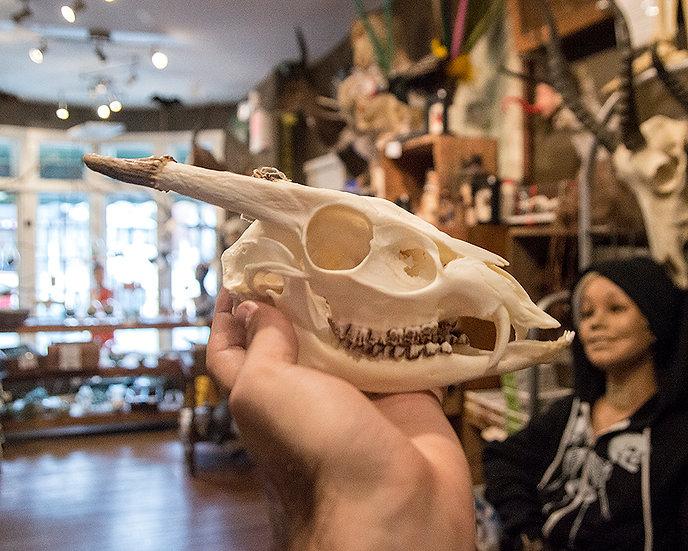 Munjac Skull