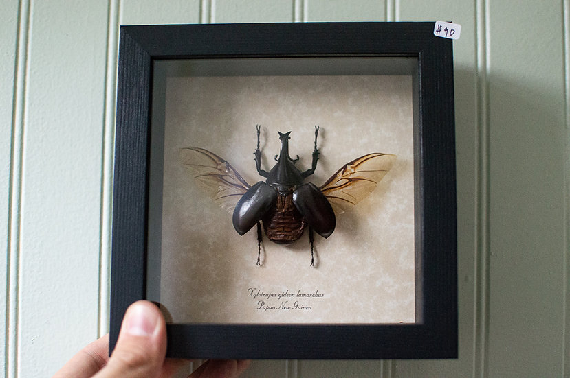 Flying Rhino Beetle