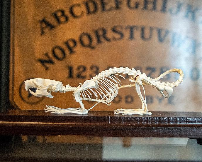Articulated Rat Skeleton