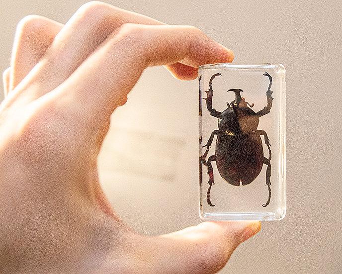 Unicorn Beetle Resin Specimen