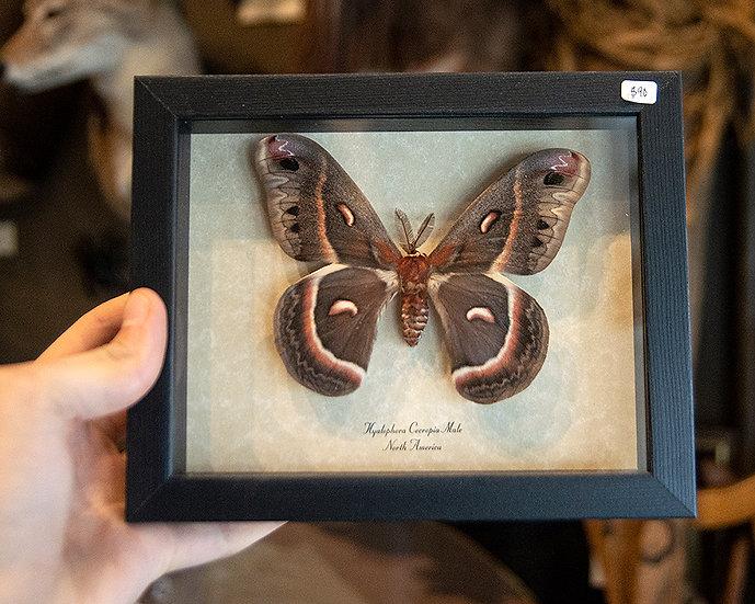 Cecropia Giant Silk Moth