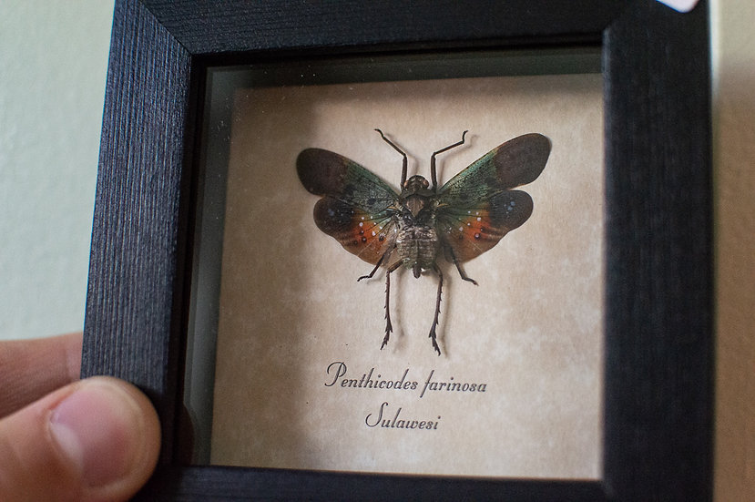 Galaxy Lanternfly Insect