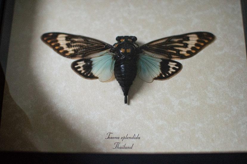 Aqua Blue Cicada