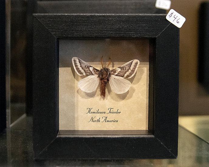 Real Tricolor Buckmoth Specimen